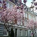 Kirschbluete Schulstrasse Muenster.jpg