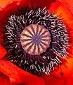 Klatschmohnblüte IMG 0643.jpg