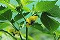 Kluse - Physalis philadelphica - Tomatillo 19 ies.jpg
