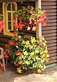 Knollenbegonien (Begonia × tuberhybrida) (9856459113).jpg