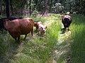 Koeien bij het Keelven jongkies - panoramio.jpg