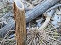 Korina 2011-01-01 Heracleum mantegazzianum.jpg