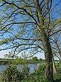 Korina 2011-05-06 Robinia pseudoacacia.jpg