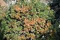 Korina 2015-10-10 Quercus rubra 3.jpg