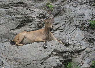 Fauna of Azerbaijan - The Caucasian goat can be found at the mountains of Caucasus.