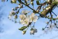 Krieche Prunus domestica subsp insititia inflorescence.jpg