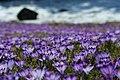 Krokus wiosenny - Crocus vernus - Spring Crocus (35815456112).jpg