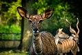 Kudu (27362177127).jpg