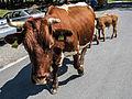 Kuh mit Kälber Parkplatz Ankogelbahn Mallnitz 2013 08 a.jpg