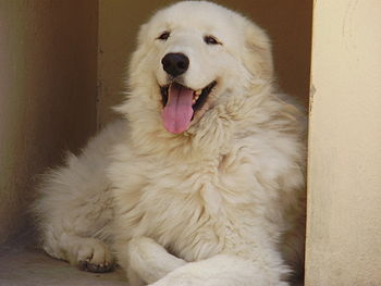 Português do Brasil: Kuvasz Prince of The Dogs...