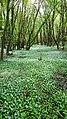 L'ail des ours au printemps (allium ursinum).jpg