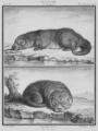 La Loutre - Otter - Gallica - ark 12148-btv1b2300254t-f13.png