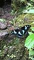 La Pâture, papillon endémique de l'ile De la Réunion.jpg