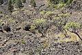 La Palma - El Paso-Fuencaliente - LP-2 - Lava of El Charco + Euphorbia regis-jubae 01 ies.jpg
