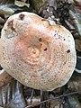 Lactarius deliciosus 97094671.jpg