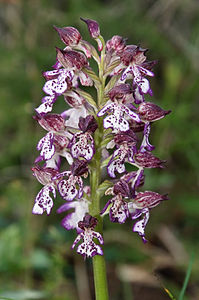 Lady orchid Orchis purpurea inflorescence.jpg