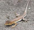 Lagartija colirroja 003 - Cabo de Gata (Acanthodactylus erythrurus).jpg