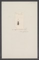 Lagria - Print - Iconographia Zoologica - Special Collections University of Amsterdam - UBAINV0274 028 04 0002.tif