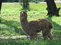 Lama pacos in the Silesian Zoological Garden 04.JPG