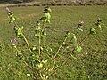 Lamium amplexicaule plant1 (14648450287).jpg