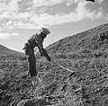 Landbouwer bewerkt de grond op Sint-Eustatius, Bestanddeelnr 252-8320.jpg