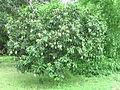 Langra Mango tree Mathurapur Bhagalpur Bihar.JPG