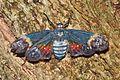 Lantern Bug - Penthicodes farinosa aeruginea (8381210124).jpg