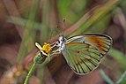 Large orange tip (Colotis antevippe exole) female underside.jpg