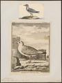 Larus argentatus - 1700-1880 - Print - Iconographia Zoologica - Special Collections University of Amsterdam - UBA01 IZ17900244.tif