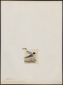 Larus atricilla - 1820-1860 - Print - Iconographia Zoologica - Special Collections University of Amsterdam - UBA01 IZ17900266.tif