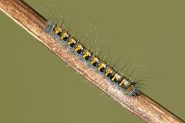 Lasiocampa quercus - caterpillar 02 (HS).JPG