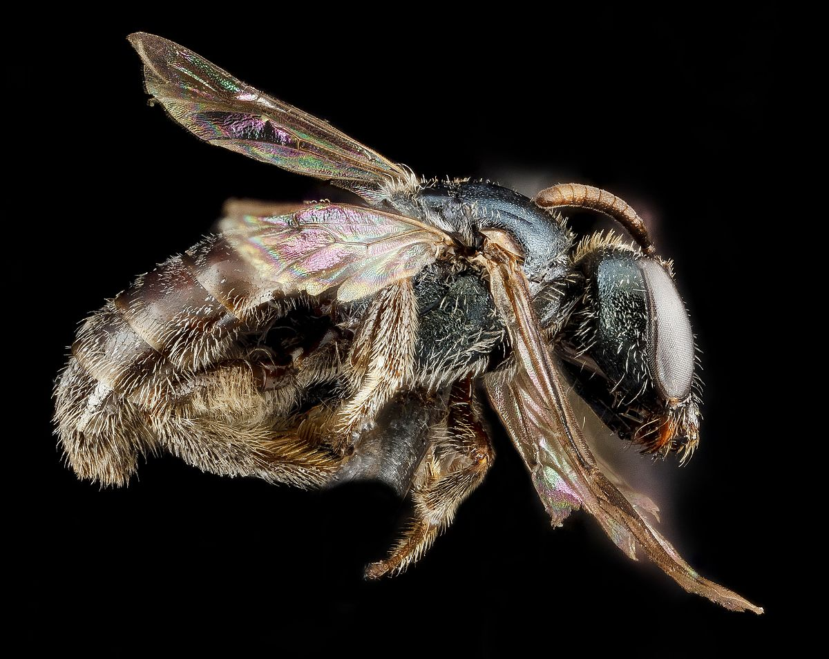 Lasioglossum Halophitum Wikipedia
