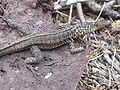 Lava Lizard female Santa Cruz.jpg