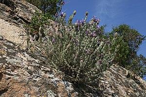Subshrub - Lavandula stoechas