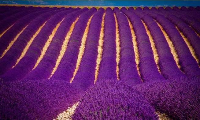 Lavender fields in India