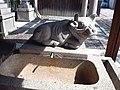 Le Temple Shintô Kan-daijin-jinja - La statue de pierre d'une vache couchée.jpg