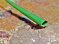 Leaf-cutter Ant (Atta cephalotes) (6788328005).jpg