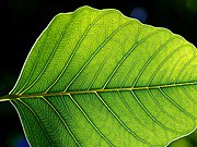 The leaf is the primary site of photosynthesis in plants.