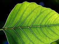 The leaf is the primary site of photosynthesis...