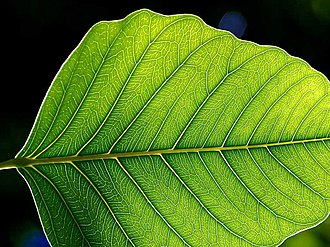 Plant - The leaf is usually the primary site of photosynthesis in plants.