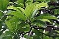 Leaves & Buds I IMG 8416.jpg