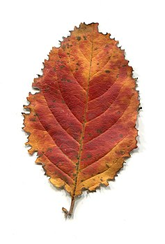Leaves of trees in autumn. Adaxial side.jpg