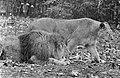 Leeuwen los in Burgers Dierenpark te Arnhem, Bestanddeelnr 921-3415.jpg