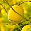 Lemon Bokeh (194039751).jpeg