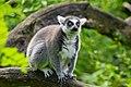 Lemur (23647818898).jpg