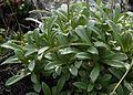 Leontopodium shinanense 03s Kisokoma.JPG