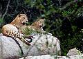 Leopards Yala.jpg