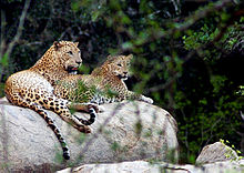 Leopards Yala.jpg