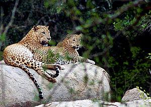 Leopards Yala
