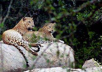 Tourism in Sri Lanka - Yala National Park has the world's highest concentration of leopards per square kilometer.